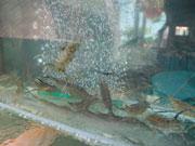 生簀の中の魚介