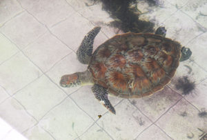 hi-popular-glassbottom-turtle