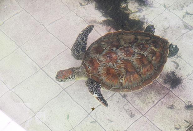hi-popular-glassbottom-turtle